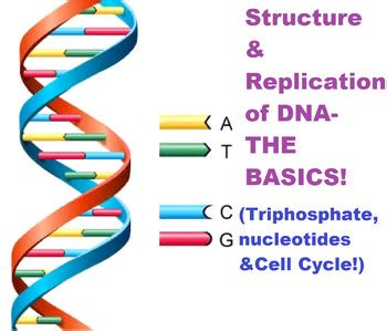 section 10 2 review dna structure dna structure replication cell cycle lesson plan by ms