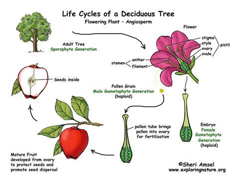 apple tree life cycle flowering plant exploring