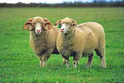 breed identification quiz sheep breed identification proprofs quiz