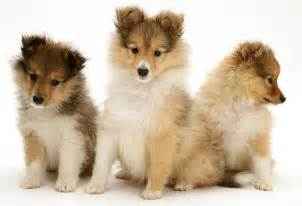 What Are Backyard Breeders The Shetland Sheepdog Puppy
