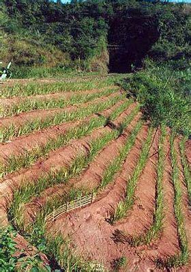 Sumber Bibit Tebing Rumput Vetiver Akar Wangi rumput vetiver atau rumput akar wangi penguat tebing mewaspadai longsor tanah cv jual