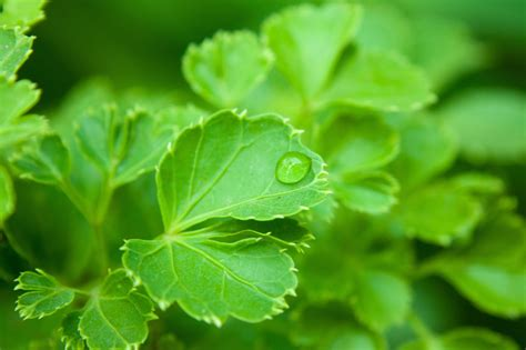 picture leaf plant dew rain herb