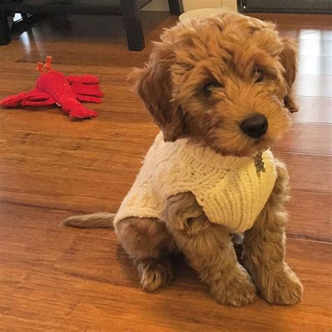 mini doodle puppies goldendoodle puppies miniature goldendoodles
