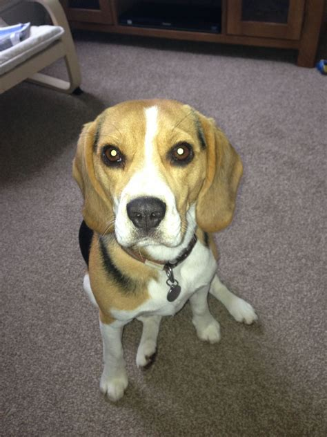 beagle puppies for adoption coco lovely beagle for adoption york pets4homes