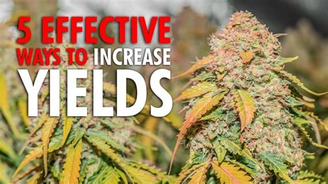 effective ways  increase plant yields cannabis
