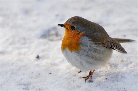 Rotkehlchen Im Winter 4661 by Kalte F 252 223 E Rotkehlchen Tiere View Fotocommunity