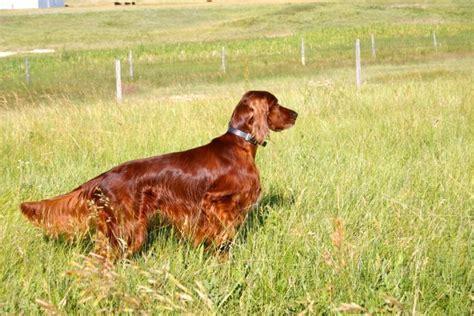 irish setter dog hunting irish setter hunting hunting dogs pinterest