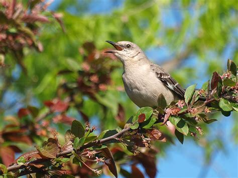 panoramio photo of mockingbird singing