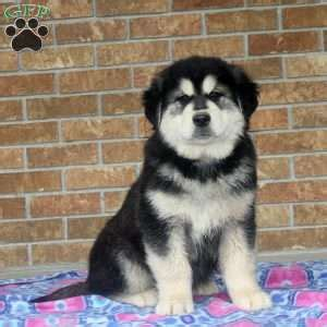 puppies for sale in chambersburg pa alaskan malamute mix puppies for sale in pa