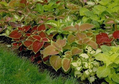 beechwood landscape architecture and construction coleus evergreen perennial of the day