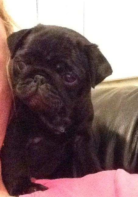 pug puppies for sale newcastle pug puppies for sale newcastle upon tyne tyne and wear pets4homes