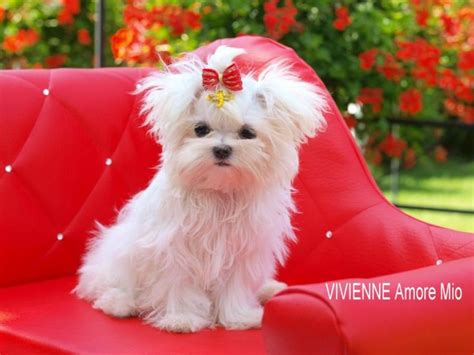 adopt a maltese puppy for free adorable maltese puppies for free adoption offer