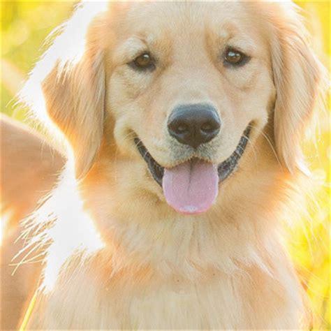 sarcoma golden retriever understanding canine osteosarcoma golden retriever lifetime study