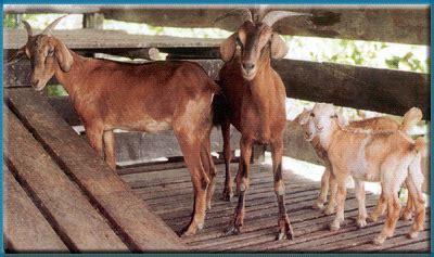 Jual Bibit Kambing Di Medan peternakan kambing dan penjelasannya jelajah iptek