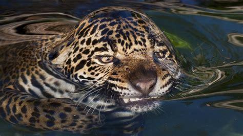 imagenes jaguar you jaguar