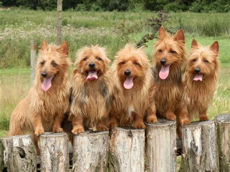 australian terrier puppies for sale 25 b 228 sta australian terrier id 233 erna p 229 terrier terrierhundar och