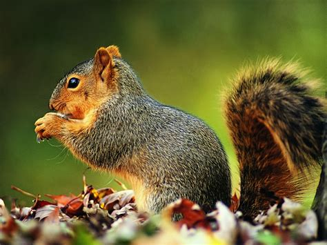 squirrel wallpapers pets cute and docile