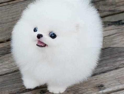 white baby pomeranian baby pomeranian