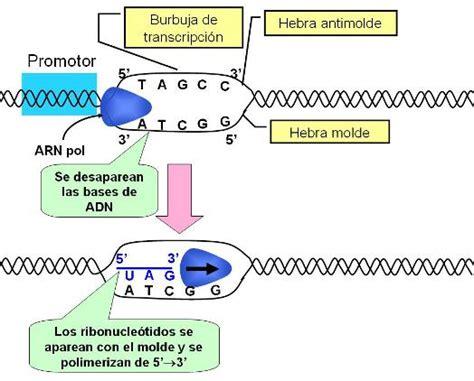 cadena molde de adn transcripcion ciencias para el mundo contempor 225 neo