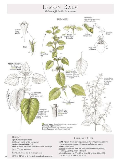 identification of herbs wildr 1881 best images about shtf homesteading on pinterest