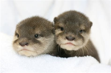 Otter babies two of the new baby otters at