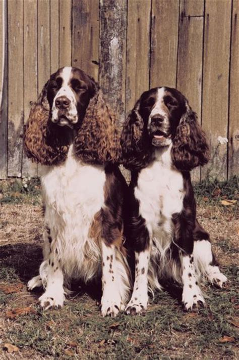 bench bred english springer spaniels differences in bench field springer spaniels pets