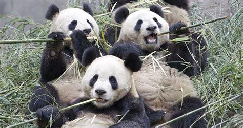 fotos de grupo panda osos panda gigantes im 225 genes y fotos