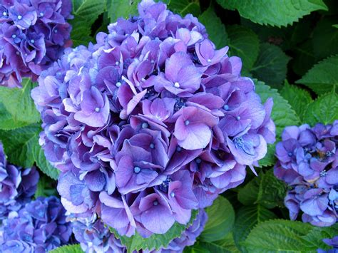 Purple Hydrangea purple hydrangea equine galleries digital photography review