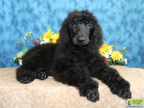 black poodle lifespan black standard poodle for sale dogs in our