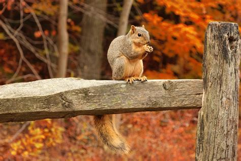 libro animal seasons squirrels autumn free photo squirrel tail bushy tail forest free image on pixabay 316426