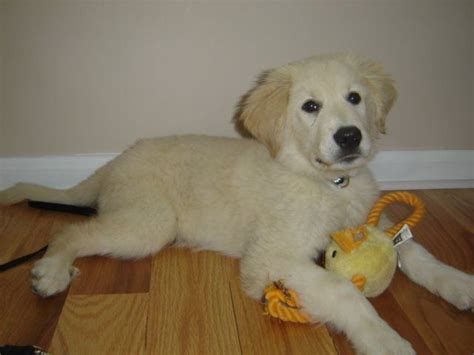 great pyrenees lab mix puppies bailey great pyrenees labrador retriever mix lab puppies white lab and the o jays