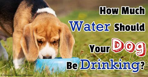 puppy water intake how much water should your be
