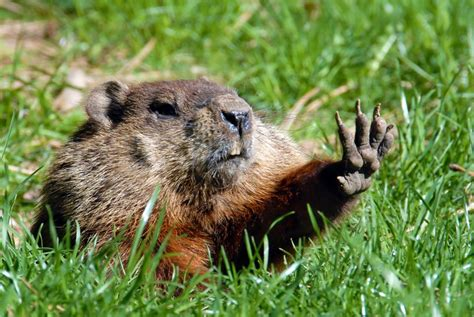 groundhog day up gearing up for groundhog day garden state honda