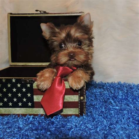 chocolate yorkie puppies for sale chocolate yorkie puppy for sale maverick teacup yorkies sale