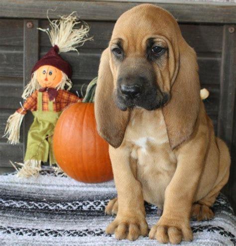 bloodhound puppy best 25 bloodhound puppies ideas on hound hound puppies and baby