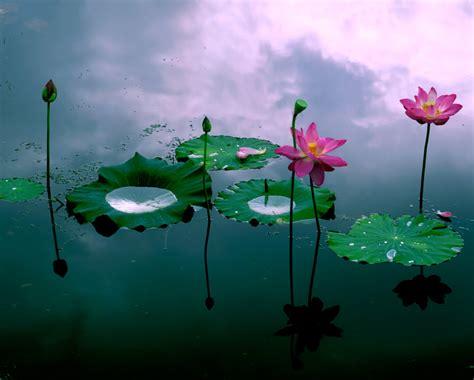 Japanische Gärten Pflanzen 926 by 연꽃 사진 검색 꽃 사진
