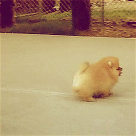 pomeranian gif puppy gif find on giphy