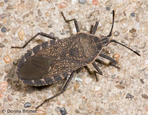 squash bugs mdc discover nature