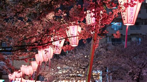 cherry blossoms a guide to japan s cherry blossom season cnn