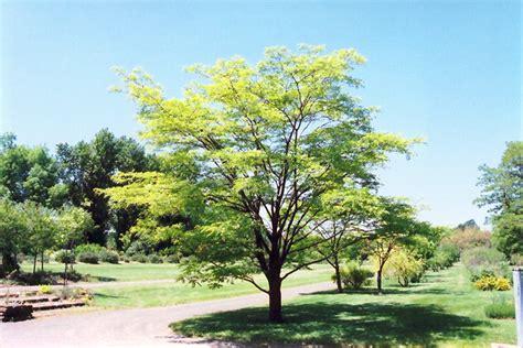 Fruit Trees Zone - amur maackia maackia amurensis in inver grove heights minnesota mn at gertens