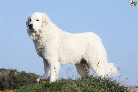pyrenees dogs pyrenean mountain breed information buying advice photos and facts pets4homes
