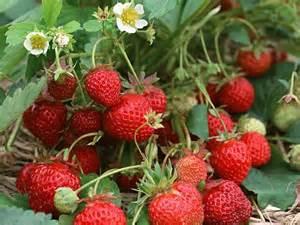 eat live grow paleo spring fruit strawberries