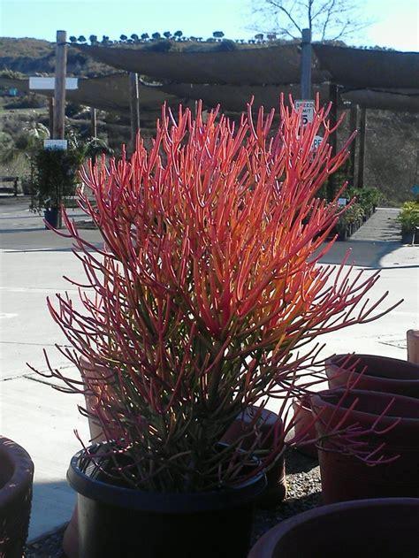 sticks  fire coral succulent succulent landscape