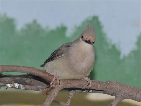 the online zoo blue naped mousebird