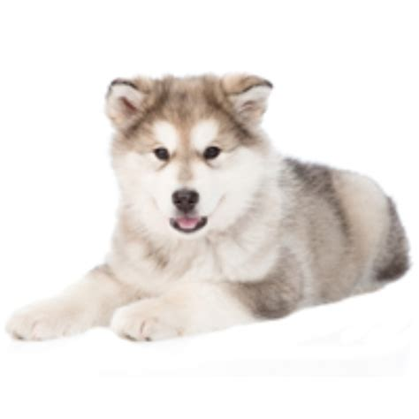 siberian husky puppies for adoption siberian husky puppies for adoption bazar