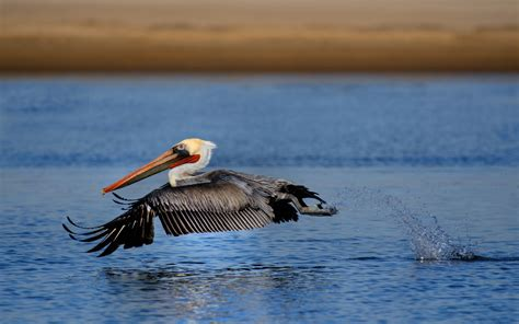 themes pelican blog cool pelican wallpaper 38094 1920x1200 px hdwallsource com