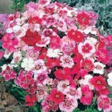 Bibit Bunga Dianthus Carpet 50 Butir Benih bibit aster ostrich feather