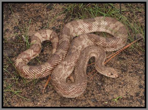 snake backyard florida pine snake florida backyard snakes