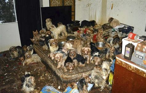 yorkie rescue san diego san diego plead guilty to hoarding 170 terriers pet rescue report
