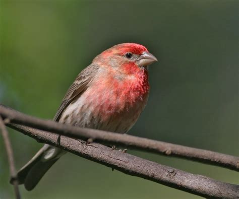 house finch male house finch male photo tom grey photos at pbase com